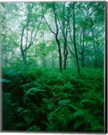 Forest Ferns in Misty Morning, Church Farm, Connecticut Fine-Art Print