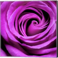 Purple Rose Fine-Art Print