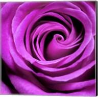 Purple Rose Fine-Art Print