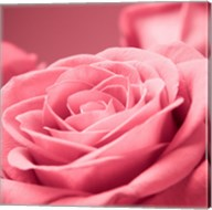 Pink Rose 1 Fine-Art Print