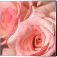 Pink Rose 2 Fine-Art Print