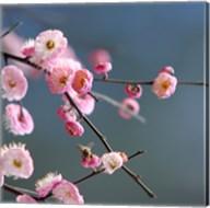 Cherry Blossom 1 Fine-Art Print