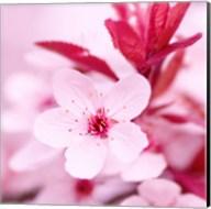 Pink Blossom 1 Fine-Art Print