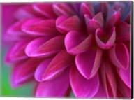 Pink Chrysanthemum Fine-Art Print