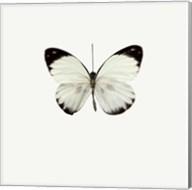 White Butterfly 1 Fine-Art Print