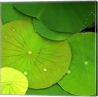 Water Lily Fine-Art Print