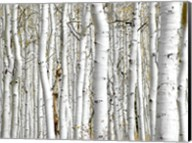 Birch Wood Fine-Art Print