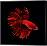 Red Betta Fish Fine-Art Print