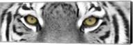 Tiger Panel Fine-Art Print
