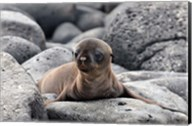 Galapagos Sea Lion Pup Fine-Art Print