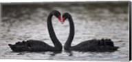In Love Black Swans Fine-Art Print