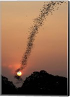 Bat Swarm At Sunset Fine-Art Print