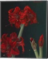 Amaryllis Amigo Fine-Art Print