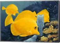 Yellow Tangs Fine-Art Print