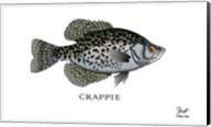 Crappie Fish Fine-Art Print