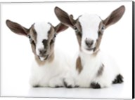 Goats 2 Fine-Art Print