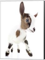 Goats 4 Fine-Art Print