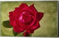 Rose III Fine-Art Print