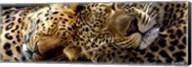 Two Sleepers Cheetahs Fine-Art Print