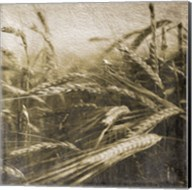 Wheat Fields Fine-Art Print