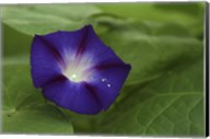 Morning Glory 1 Fine-Art Print