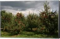 Apple Orchard Dark Sky Fine-Art Print