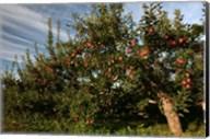 Apple Orchard Streaked Sky Fine-Art Print