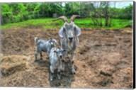Goats Fine-Art Print