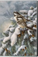 Chickadee In Spruce Fine-Art Print