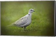 Spring Dove Fine-Art Print