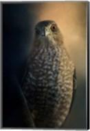 Coopers Hawk At Sunset Fine-Art Print