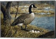 Canadian Goose Fine-Art Print