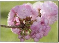 Pink Blooms on Branch Fine-Art Print