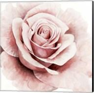 Pink Rose I Fine-Art Print