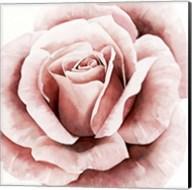 Pink Rose II Fine-Art Print