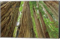 Redwoods Forest IV Fine-Art Print