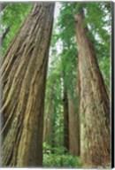 Redwoods Forest II Fine-Art Print