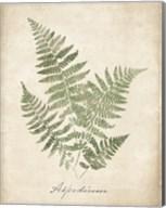 Vintage Ferns IX no Border Fine-Art Print