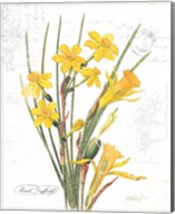 March Daffodil on White Fine-Art Print