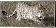 Leopard Hunting Fine-Art Print