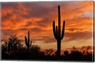 Saguaros Amazing Sunset Fine-Art Print