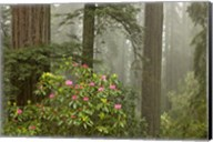 Redwood Fog Rhododendrons Fine-Art Print
