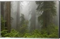 Redwoods NP Fog Fine-Art Print