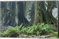 Washington Olympic NP Foggy Ferns Fine-Art Print