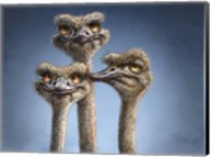 Ostrich Trio Fine-Art Print