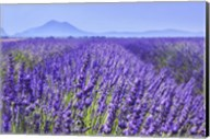 Lavender Field Close Up Fine-Art Print