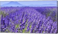 Lavender Field Close Up Fine-Art Print