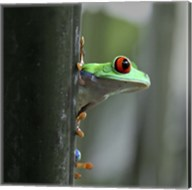 Red Eyed Tree Frog Fine-Art Print