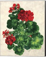 Red Geranium Fine-Art Print