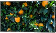 Oranges Growing on a Tree, California Fine-Art Print